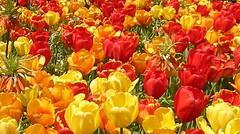 A Blaze of Tulips (petalpower) Tags: flowers nature colors spring seasons celebrateseasons flickrsmasterpieces