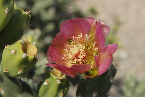 Flor de Cuatro cienegas