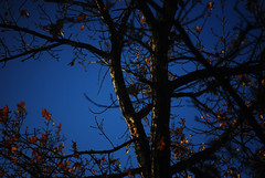 autumn blue (saicode) Tags: autumn tree fall sunshine silhouette morninglight bare branches dreamy twigs darkblue sleepwalking shallowdof saikat goldenleaves bhor parasomnia saicode