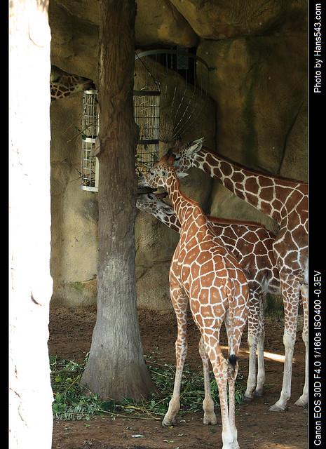 長頸鹿_Giraffe_02
