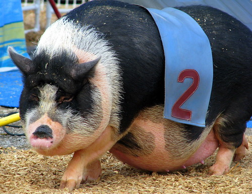 100 Things to see at the fair #76: Racing pot-bellied pigs