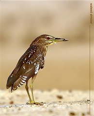 E-3 + 50-500   night-heron (Waleed Almotar) Tags: bird night wildlife sigma pssaro olympus ave 50500 kuwait e3 waleed doha nightheron   jahra horen       almotar     thewonderfulworldofbirds judailyat