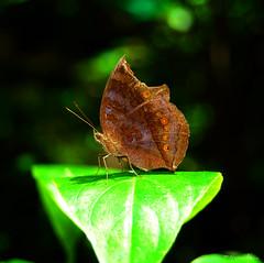 ''Meta'' in Your Morphosis (maraculio) Tags: brown black green art butterfly photo nikon meta your worlds 1855mm nikkor heights marikina morphosis hbw aplusphoto d40x maraculio kristianongpinoy happybutterflywednesday