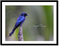 Bronzed Drongo (Dicrurus aeneus) (Z.Faisal) Tags: blue bird station bronze river nikon beak feathers aves nikkor bangladesh avian bipedal bangla faisal bronzed desh d300 zamir khulna shyamnagar drongo dicrurusaeneus bronzeddrongo sundarbans sundarban pakhi endothermic dicrurus aeneus satkhira zamiruddin zamiruddinfaisal fingey burigoalini kalagachi kholpetua ttlsafari kalagachistation kholpetuariver bronzefingey zfaisal