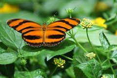 butterfly3 (smihan13) Tags: orange color butterfly san francisco with butterflies nothing naranja rhymes calacademy blorenge rhymeswithorange netneutrality matters2me californiaacademyofsciencemuseum podclasstv podclasstv3