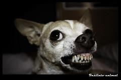 Instinto animal (Mi matadero clandestino) Tags: portrait dog face animal dangerous eyes dof cara perro dientes caracter peligroso desatured instinto digitalcameraclub a