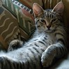 at home (lesbru) Tags: cat interior tabby naturallight domestic henderson stripy moggie 18200mm platinumphoto yescanihelpyou d40x