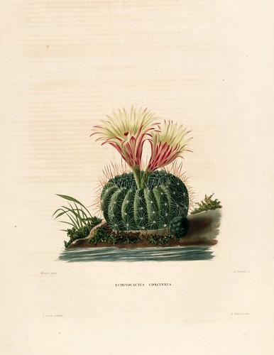 04-Echinocactus concinnus