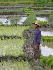 Rice farmer (Gusjer) Tags: southeastasia burma myanmar farmer ricefields birmania