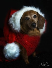 Erin Clause - Explored! (FLPhotonut) Tags: santa christmas red dog hat florida dachshund explore tistheseason onblack canon350xt alittlebeauty flphotonut