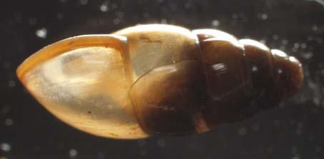 CochlicopaLubrica