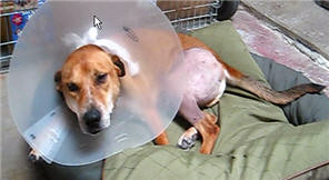 Jasper recuperating