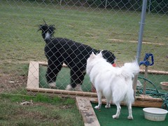 Happy at the Dog park (jumpyfrog0506) Tags: dog white cute male happy fluffy american eskimo