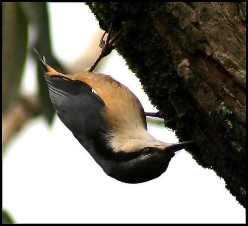 White-tailed Nuthatch #2