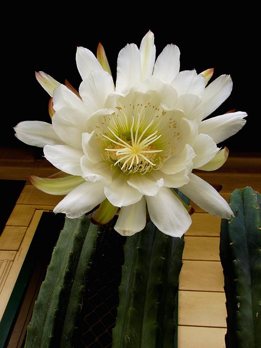 Summer Cacti Flowers 3139675054_24355afc9e_o