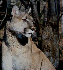 Carolina Cougar (bdaryle) Tags: wild nature animal cat feline northcarolina puma panther cougar nczoo bigcats mountainlion wildanimals asheboro asheboronc whiskar zoosofthesouth randolfcounty brandondaryle bdaryle imagesbybrandon