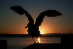 i comena un nou any (Ferran.) Tags: california sunset sea usa bird nature water mar sandiego sandiegobay lv2008
