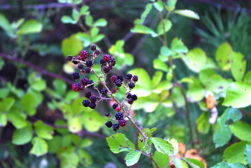 blackberry, böğürtlen, pentax k10d