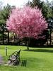 Bayard Cutting Arboretum (PJSherris) Tags: park tree nature bench spring arboretum olympus cutting bayard redbud blooming bayardcuttingarboretum olympusc4040z c4040z