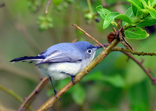 Blue-gray Gnatcatcher 20090216