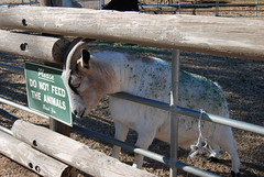 Don't feed the Goat (Thank You 7.5 Million Visitors!) Tags: signs goats lonepine 395