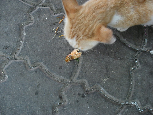 Kitty eating a shrimp head