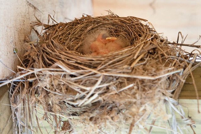 Newly Hatched Robins
