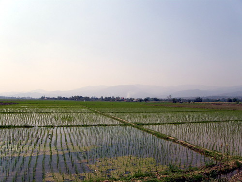 Rice paddies near Chiang Mai