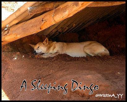 A Sleeping Dingo