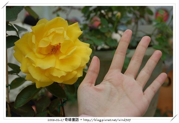 DSC_2434柔媚之黃(美國2000)