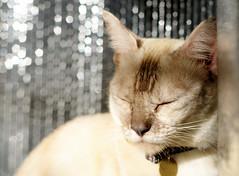 chat et forte température