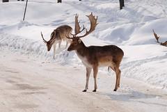 (sebwy) Tags: animals quebec animaux parcomega montebello