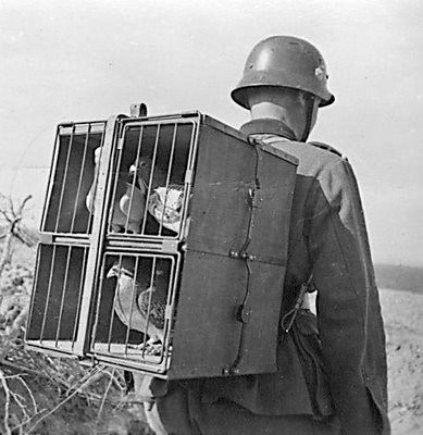 Army homeing pidgeons