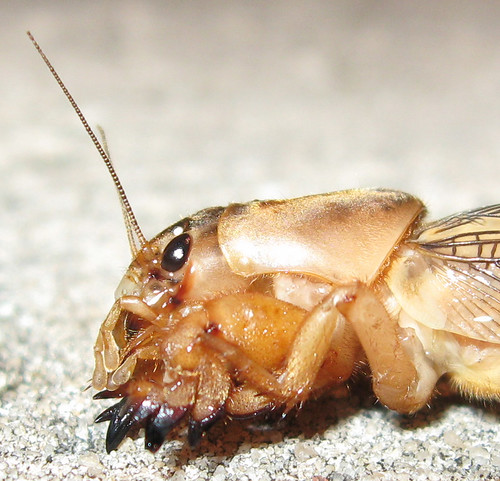 Mole Cricket #3