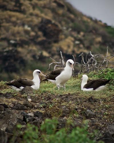 Hawaian Laysan Albatross, Kaena Point, Oahu, Hawaii