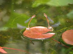 Dragonfly Foursome (Tetramesh) Tags: tetramesh waarschoot belgium belgië belgique belgien oostvlaanderen eastflanders vlaanderen flanders meetjesland water dragonfly insect platteland countryside lievegem