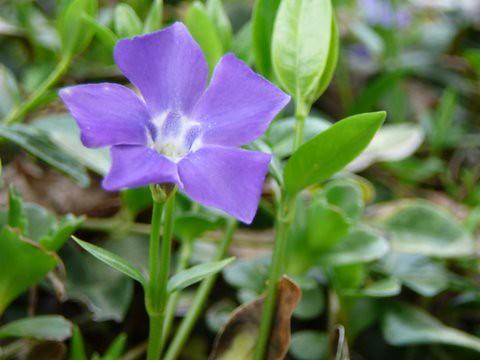 Very Violet Vinca