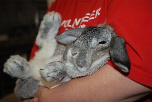 Trixie - Silver Grey Lop Bunny