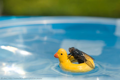 Minor Paddle (ukaaa) Tags: sun macro water pool digital swimming fly duck mr ring gerald inflatable alive sonia notphotoshopped notdead