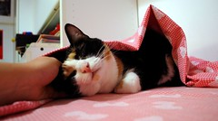 Gianduia coccolina (Gi*Lia) Tags: white black cat beige kitten cream kitty tortoiseshell calico gatto bianco nero micia nikond80 kissablekat