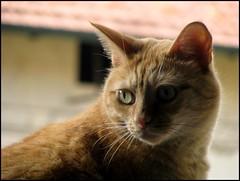 lei (•:• panti •:•) Tags: tetto occhi rosso gatto animale primopiano sfuocato baffi orecchie fulvo