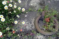 Wall, Flowers, Ring (manu/manuela) Tags: muro wall port river harbour side quay ring fiori mur quai anneau smrgsbord vgtation fleurssauvages amarrage annello wideflowers