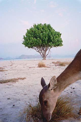 Kanawa Island Deer