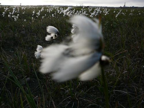 Cottongrass en Deadhorse y muucho viento