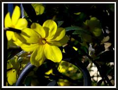 Cerca Amarela (Martha MGR) Tags: flores natureza mmgr marthamgr marthamariagrabnerraymundo marthamgraymundo