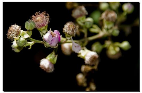 Flor de zarza