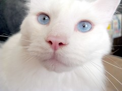 Cerulean, Intense Look (Pixel Packing Mama) Tags: aww catsandkittensset exclamationpoints pixelpackingmama blueeyedanimalspool dorothydelinaporter worldsfavorite favoritedpixset commentedwithanicondirectorypool whitecatsset whitecatspool exclamationpointspool pixwithexclamationpointsincommentsset worldsfavoritepool focusontheheadpool kittyfacefacesonlypool whiteanimalspool catcloseupspool catfacespool blueeyedcatspool excellentcatsshotspool everybodywantstobeacatpool uploadedsecondhalfof2008set exclamationpointsincommentsset pixelpackingmama~prayforkyronhorman oversixmillionaggregateviews over430000photostreamviews