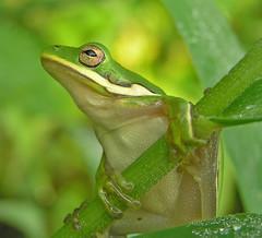 poseur (slider5) Tags: columbus baby mississippi frog treefrog greentreefrog hylacinerea whitesslough photocontesttnc08
