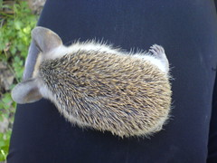 On my lap (BlueLunarRose) Tags: baby cute nature animal hedge hedgehog cuteanimal hedg