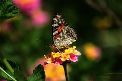 Butterfly on lantana (Satxvike) Tags: newmexico orogrande satxvike henrydelgado onthewaytoalamogordo wesaw3peopleinthewholetown